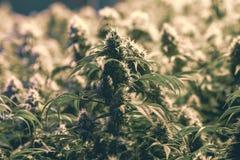 Законная индустрия марихуаны растет объект Стоковое фото RF