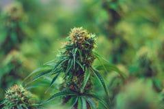 Законное земледелие марихуаны для целебных целей Стоковое Изображение RF
