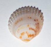 закрепляя изолированная белизна раковины моря путя Стоковое фото RF