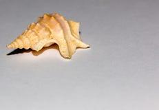 закрепляя изолированная белизна раковины моря путя Стоковая Фотография