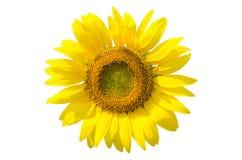 закрепляя изолированный солнцецвет путя Стоковые Фото