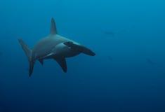 Закройте вверх акулы молота в темносинем Стоковое Изображение