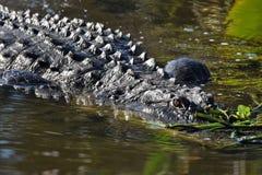 Закройте вверх аллигатора в заболоченных местах Стоковая Фотография