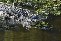 Закройте вверх аллигатора в заболоченных местах Стоковое Фото