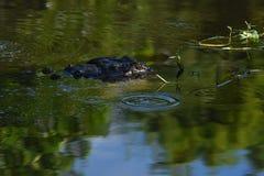 Закройте вверх аллигатора в заболоченных местах Стоковое Изображение RF