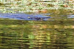 Закройте вверх аллигатора в заболоченных местах Стоковое фото RF