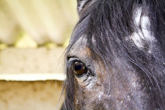 Закройте вверх аравийской лошади залива стоковое изображение rf