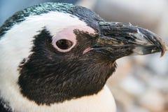 Закройте вверх африканского пингвина Стоковое Фото