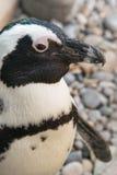 Закройте вверх африканского пингвина Стоковое Изображение
