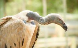 Закройте вверх африканского хищника Стоковая Фотография RF