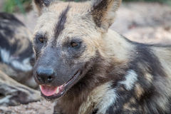 Закройте вверх африканской дикой собаки Стоковые Фото