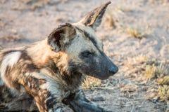 Закройте вверх африканской дикой собаки Стоковое Фото