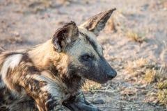 Закройте вверх африканской дикой собаки Стоковая Фотография