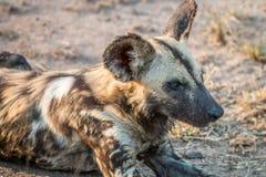 Закройте вверх африканской дикой собаки Стоковые Изображения