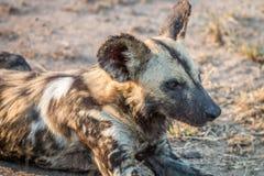 Закройте вверх африканской дикой собаки Стоковое Изображение
