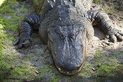 Закройте вверх аллигатора на ферме аллигатора Августина Блаженного Стоковая Фотография RF