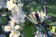 Закройте вверх бабочки на бело-розовой яблоне цветения Стоковая Фотография