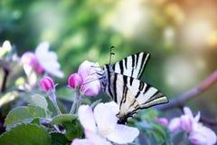 Закройте вверх бабочки на бело-розовой яблоне цветения Стоковое Фото