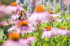 Закройте вверх бабочки на розовом цветке конуса Стоковая Фотография RF