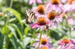 Закройте вверх бабочки на розовом цветке конуса Стоковые Изображения RF