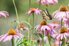 Закройте вверх бабочки на розовом цветке конуса Стоковое Изображение
