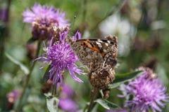 Закройте вверх бабочки на фиолетовом цветке Стоковые Изображения