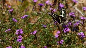 Закройте вверх бабочки сидя на фиолетовом цветке Стоковые Фото