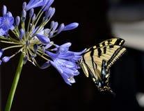 Закройте вверх бабочки swallowtail Стоковая Фотография