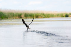 Закройте вверх баклана летая над водой Стоковая Фотография