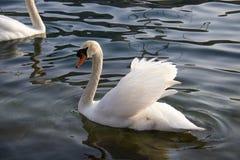 Закройте вверх белого лебедя на заходе солнца в озере лебедя Стоковая Фотография RF