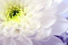 Закройте вверх белого цветка астры Стоковое Изображение