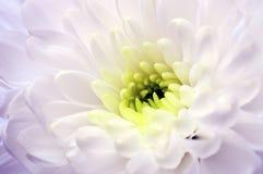 Закройте вверх белого цветка астры Стоковое Изображение RF