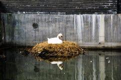 Закройте вверх белой вложенности лебедя на канале города/городской живой природе Стоковое Фото