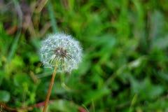 Закройте вверх белой головы цветка одуванчика с настолько много крошечных florets на запачканном зеленом поле Стоковая Фотография