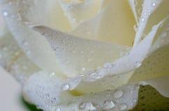 Закройте вверх белой розы с падением воды стоковое фото rf