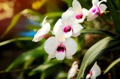 Закройте вверх белых орхидей с естественной предпосылкой Стоковые Фотографии RF