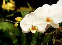 Закройте вверх белых орхидей с естественной предпосылкой Стоковые Изображения RF