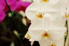 Закройте вверх белых орхидей с естественной предпосылкой Стоковое Изображение