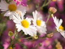 Закройте вверх белых цветков хризантемы Стоковая Фотография RF