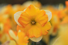 Закройте вверх белого желтого narcissus стоковая фотография rf