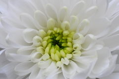 Закройте вверх белого цветка астры Стоковое фото RF