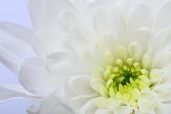 Закройте вверх белого цветка астры Стоковые Изображения