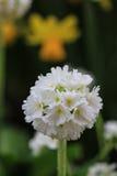 Закройте вверх белого цветка denticulata Primula стоковая фотография rf