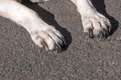 Закройте вверх белых лапок собаки на асфальте Стоковая Фотография