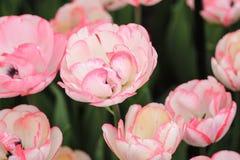 Закройте вверх белых тюльпанов с розовыми краями стоковое изображение rf