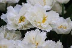 Закройте вверх белых тюльпанов с crenated краями стоковые изображения