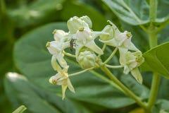 Закройте вверх белых цветка и насекомого кроны Стоковые Фото