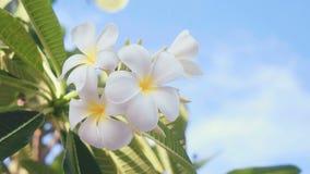Закройте вверх белых цветков frangipani перед голубым небом с облаками видеоматериал