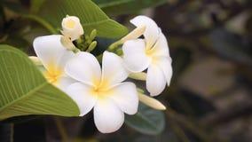 Закройте вверх белых цветков frangipani видеоматериал