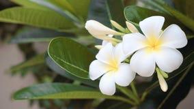 Закройте вверх белых цветков frangipani сток-видео